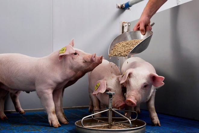 Как кормить свиней