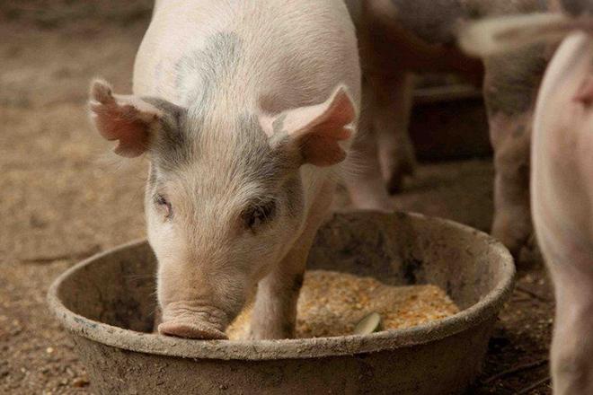Сколько раз кормить свиней