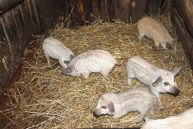 Свиньи Венгерская Мангалица