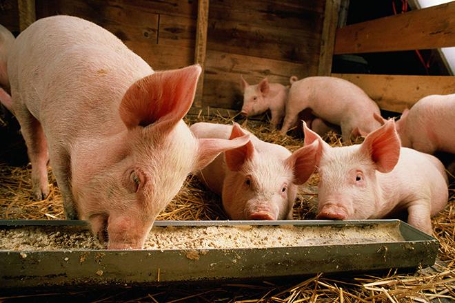 Рацион питания мясных свиней