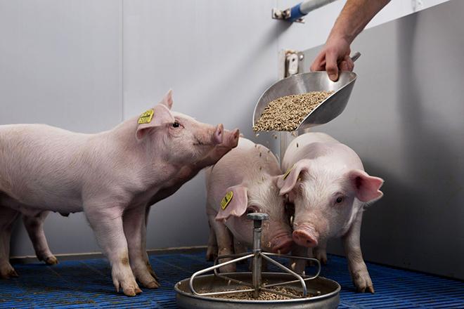 Рацион питания беконных свиней