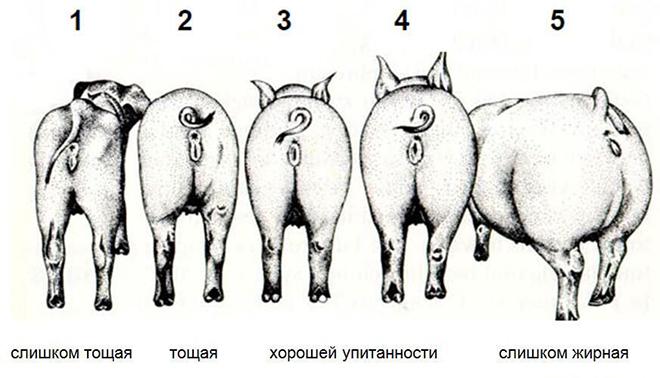 Определение упитанности свиней
