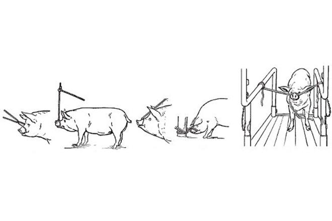 Фиксация свиньи за челюсть