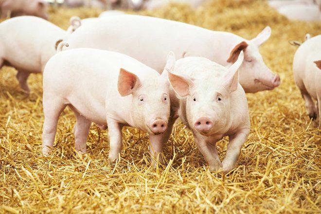 Свиньи на чистой подложке