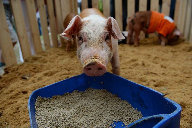Комбикорм для свиней