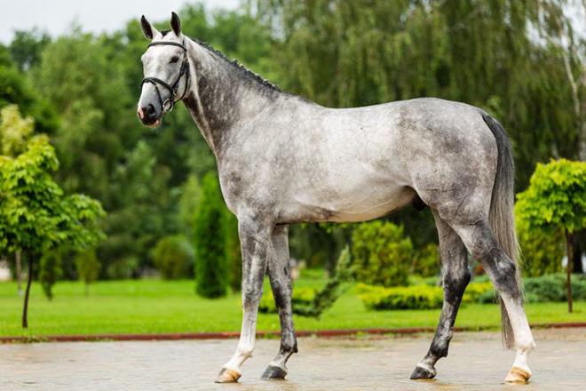 Параметры ганноверских лошадей