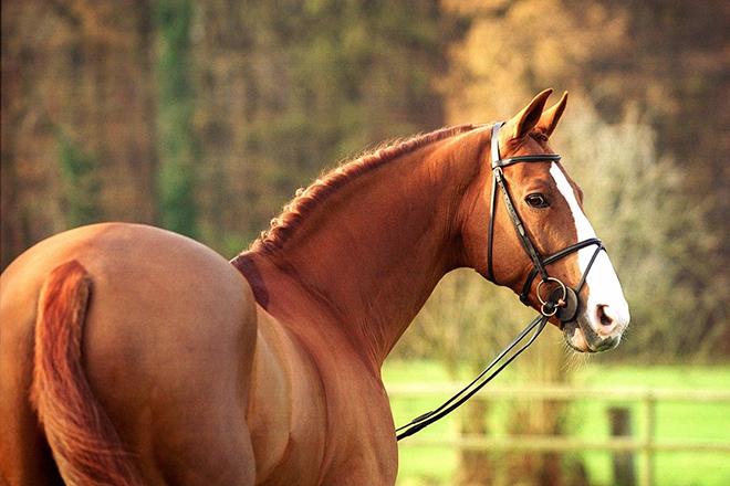Ганноверская лошадь рыжая
