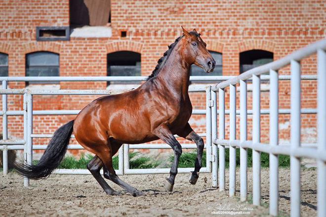 Содержание ганноверских лошадей