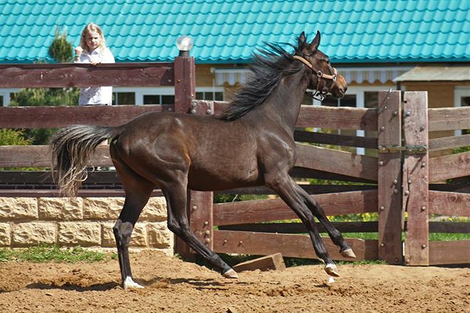 Красота ганноверских лошадей