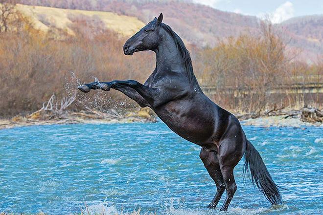 Особенности экстерьера карачаевских лошадей