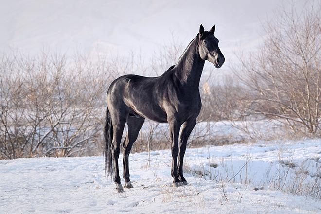 Фото карачаевских лошадей