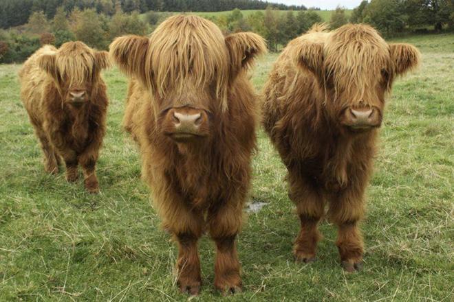 Карликовая корова