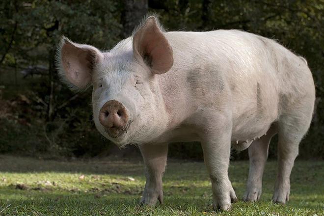 Признаки начала охоты у свиней