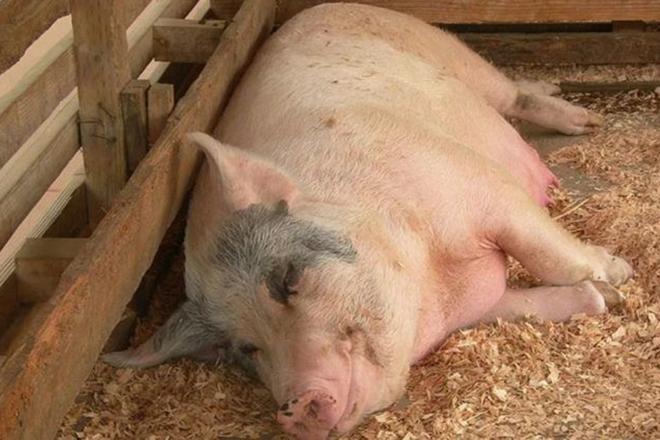Подготовка свиньи к осеменению