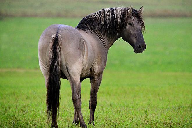 Вятская лошадь - характеристики
