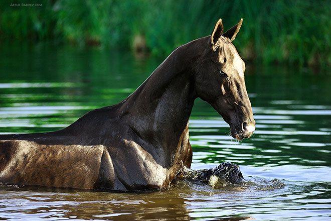 Ахалтекинская лошадь в реке