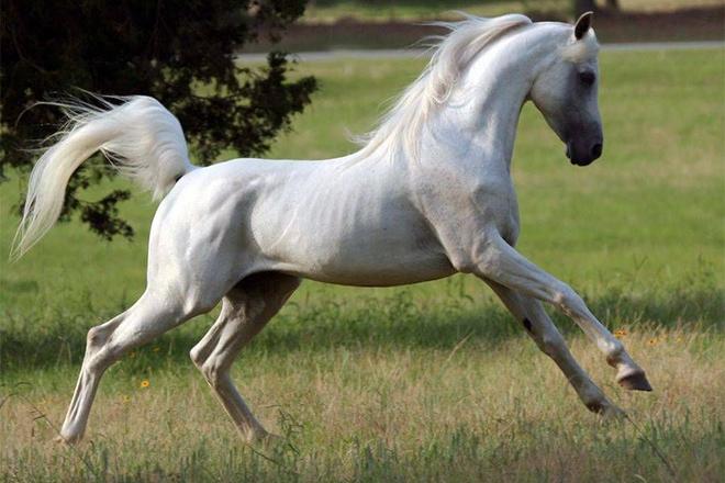 Экстерьер арабской лошади