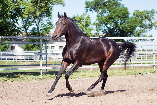 Буденновские лошади