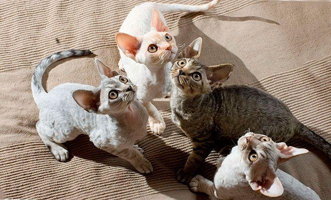 Девон-рекс коты