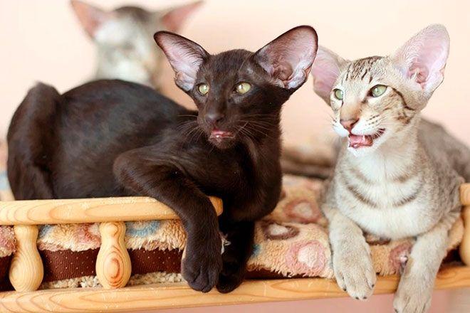 Коты Ориенталы