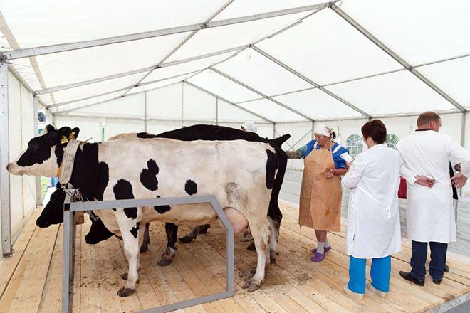 Коровы перед искусственным осеменением
