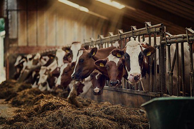 Искусственное осеменения коров
