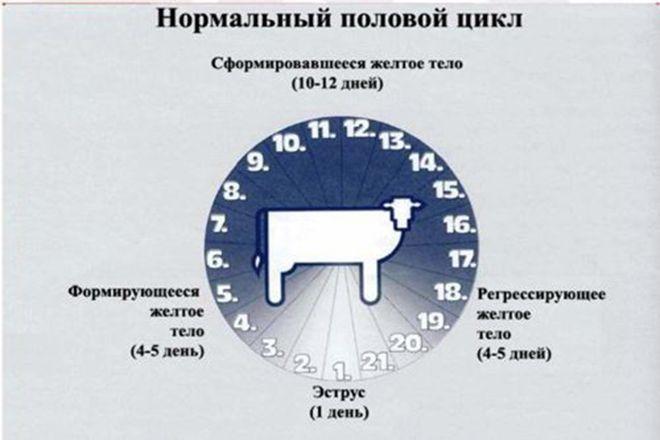 Половой цикл коровы