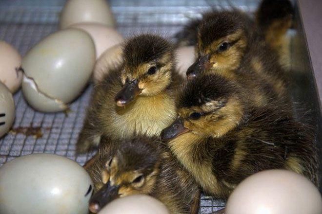 Инкубационное яйцо утки