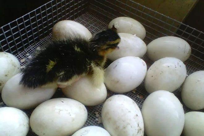 Утёнок и яйца в инкубаторе