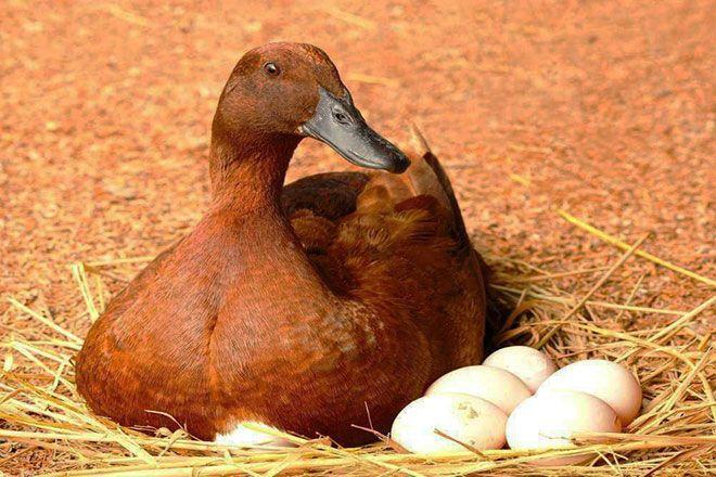Утка и яйца в гнезде
