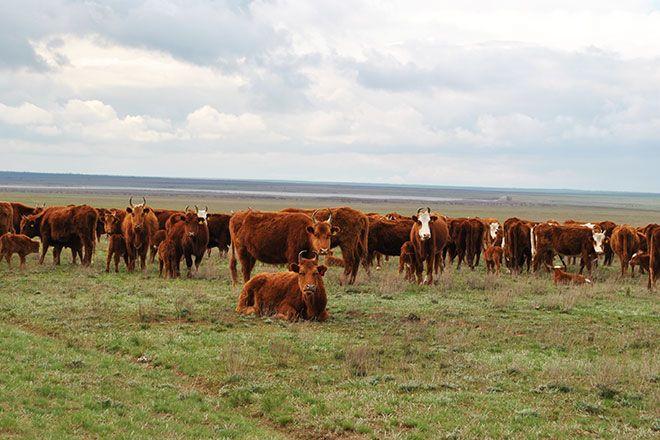 Стадо калмыцких коров