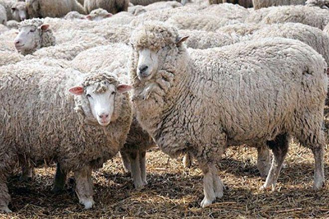 Шерстно-мясные овцы