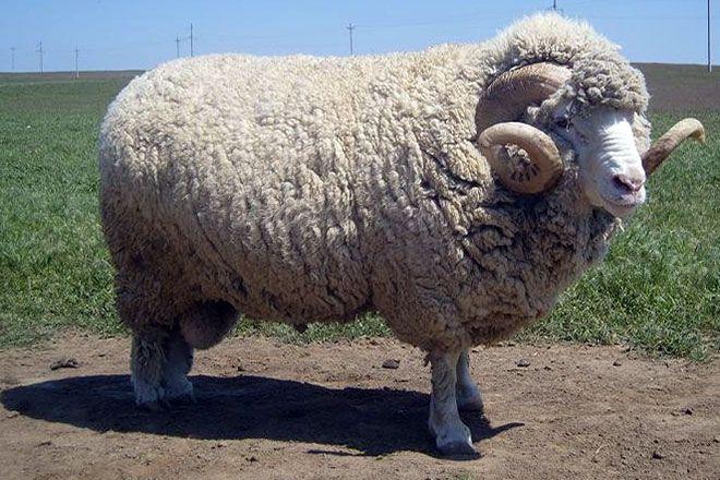 Советская порода тонкорунных овец