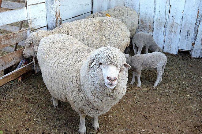 Алтайские овцы с ягнятами