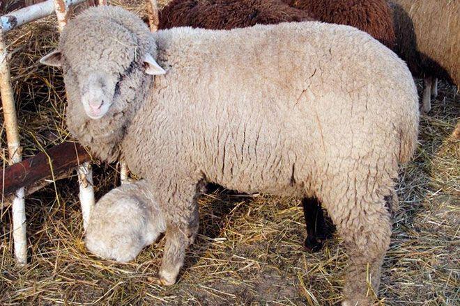 Алтайская овца с ягнёнком