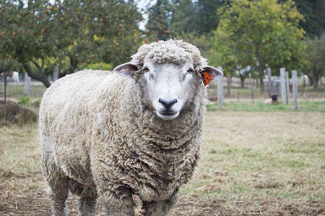 Овца алтайской породы