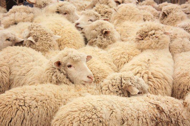 Алтайские овцы