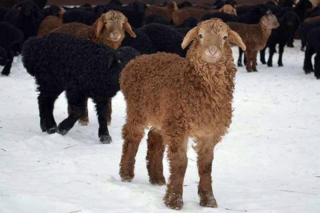 Эдильбаевские овцы зимой