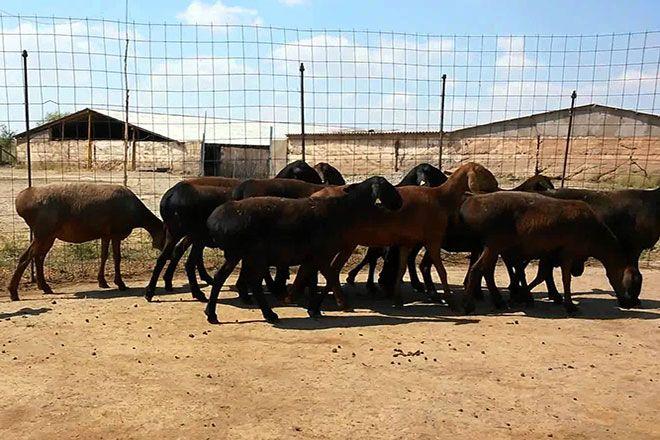 Гиссарские овцы в загоне
