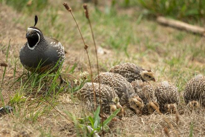 Калифорнийский перепел с птенцами