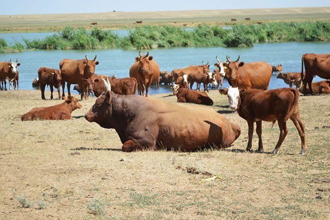 Калмыцкие быки у реки