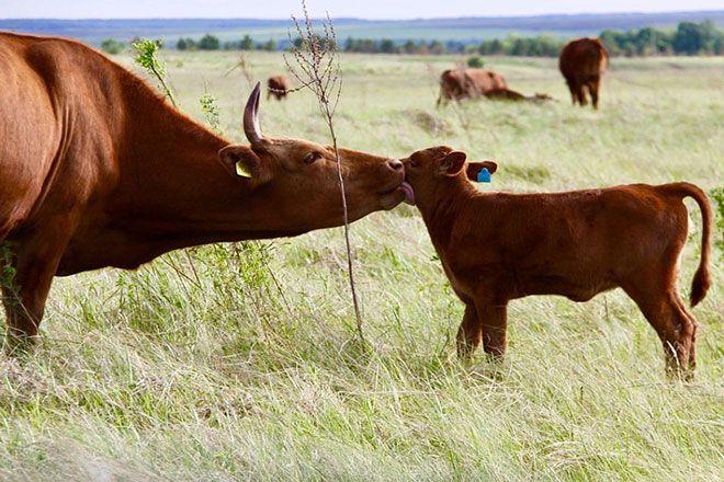 Калмыцкая корова с бычком