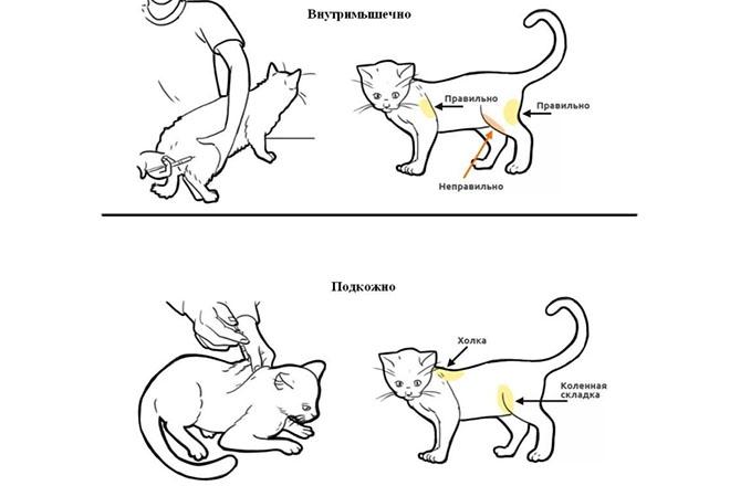 Укол кошке по правилам
