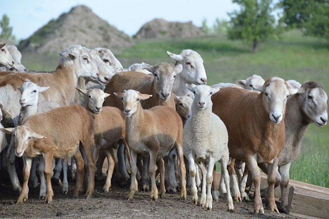 Стадо катумских овец