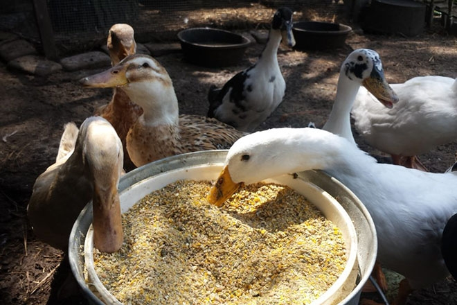 Еда для уток