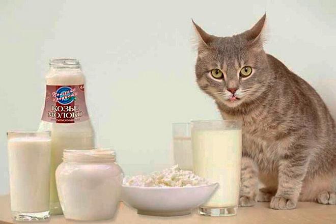 Кот и молочные продукты