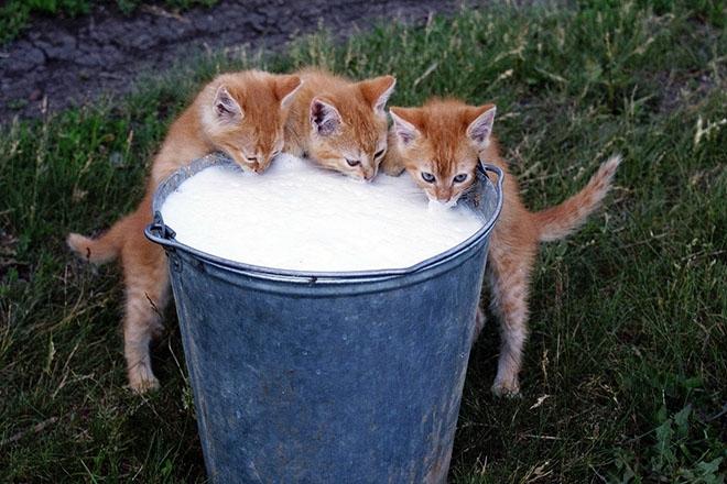 Котята пьют из ведра