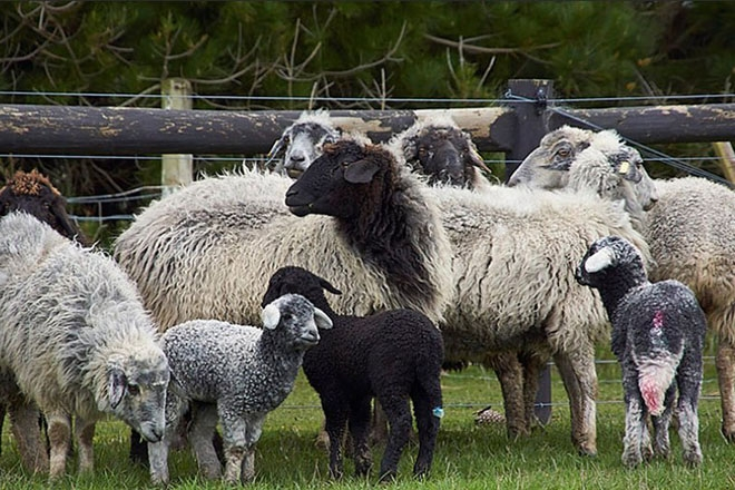 Каракульские овцы с ягнятами
