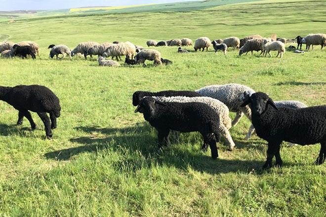 Каракульские овцы на пастбище