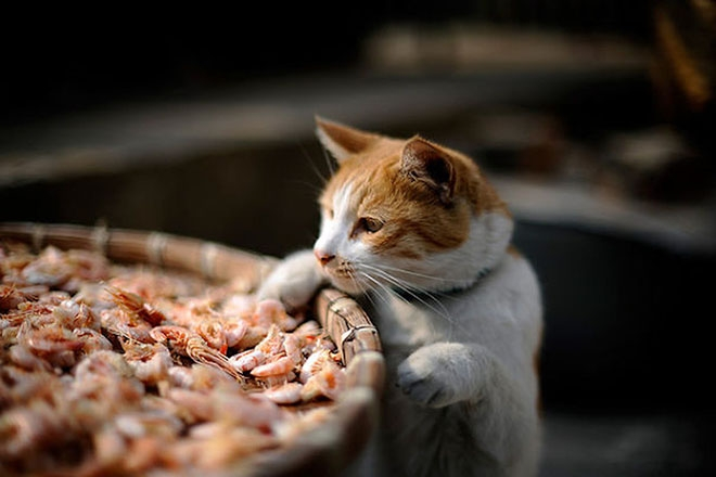 Кот хочет креветки